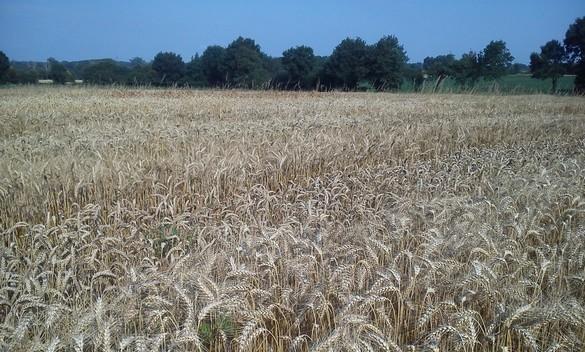 Variété de blé tendre d'hiver pour l'agriculture biologique